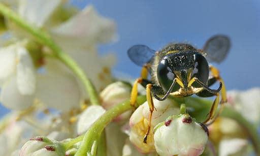 wespen-hautfluegler