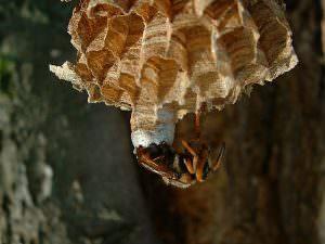 hornisse-schluepft-aus-nest