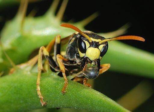 wespenarten-wespe-auf-blatt-makro