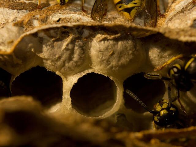 gemeine-wespe-beim-nestbau