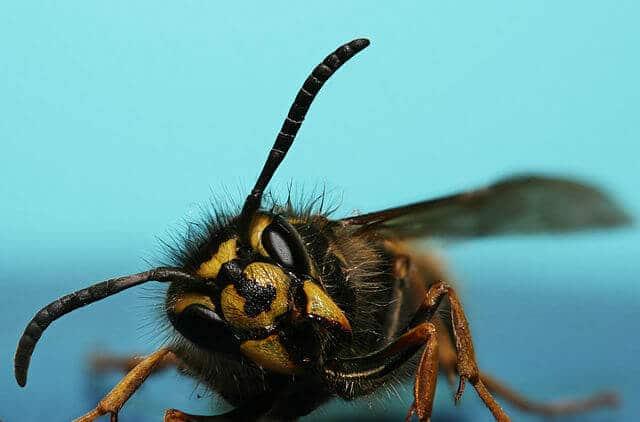 gemeine wespen erdwespen