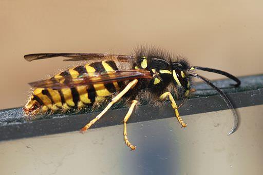 gemeine-wespe-vespula-vulgaris
