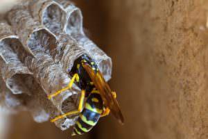 wespenkönigin beim nestbau