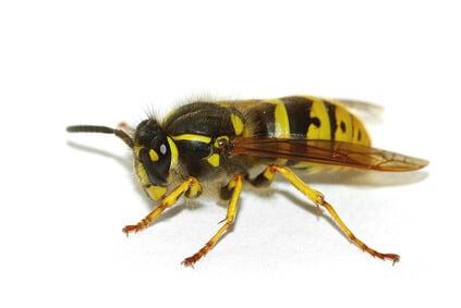 deutsche wespe vespula germanica nahaufnahme