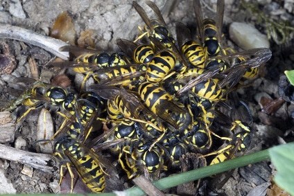 deutsche wespen hautfluegler beim fressen