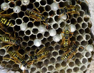 gemeine wespen im wespennest