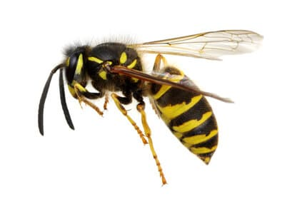 Gift Gegen Bienen : unterschied zwischen bienen und wespen ~ Articles-book.com Haus und Dekorationen