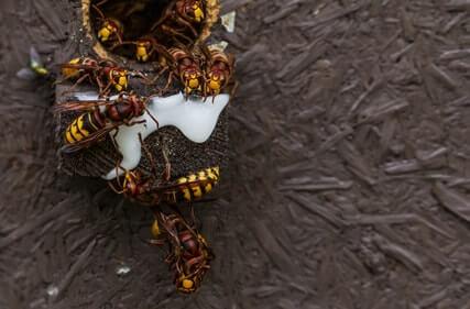 mehrere hornissenköniginnen