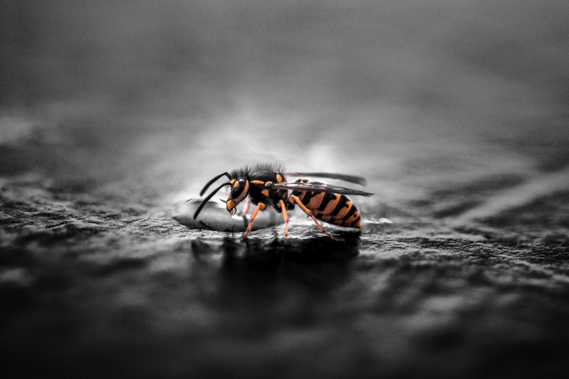 wespen im winter wie berwintern die insekten wespen. Black Bedroom Furniture Sets. Home Design Ideas
