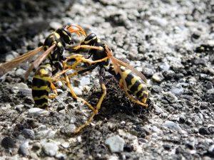 Wespen kaempfen auf Stein