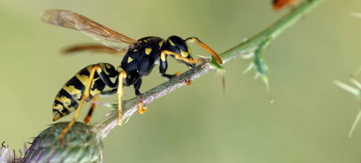 Gallische Wespe Polistes Dominula