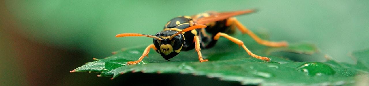 Wespe auf Blatt